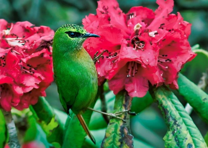 Bird on rhododendron flower beautiful sikkim pictures